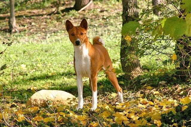 A picture of a Basenji, one of the best apartment dogs
