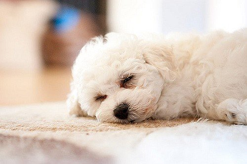 A picture of a Bichon Frise, one of the best apartment dogs