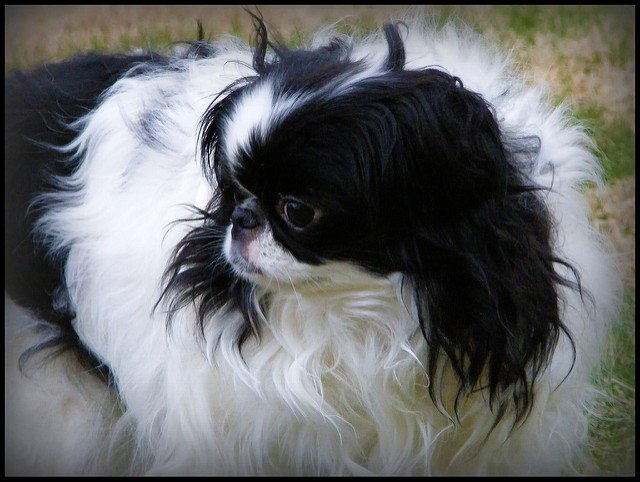 A picture of a Japanese Chin, one of the best apartment dogs