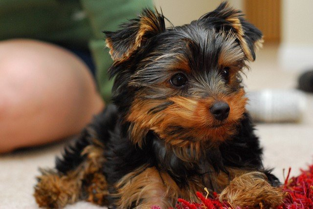 A picture of a yorkshire terrier, one of the best apartment dogs