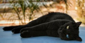 Black cats are rumored to be less adoptable than other coat colors