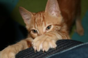 Cats scratch as part of their normal behavior