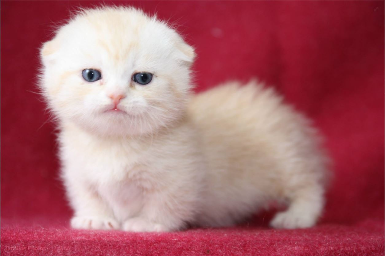 Scottish Fold Looking For New Home