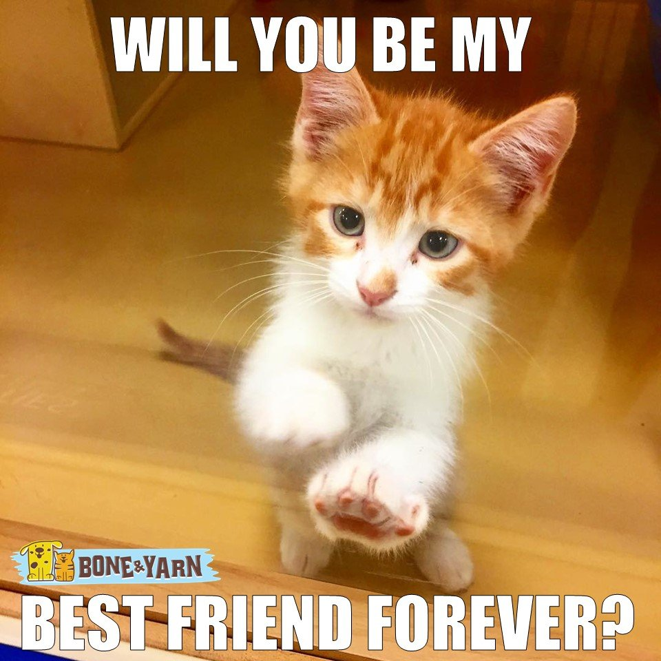 "Kitten meme that says: ""will you be my best friend forever?"""