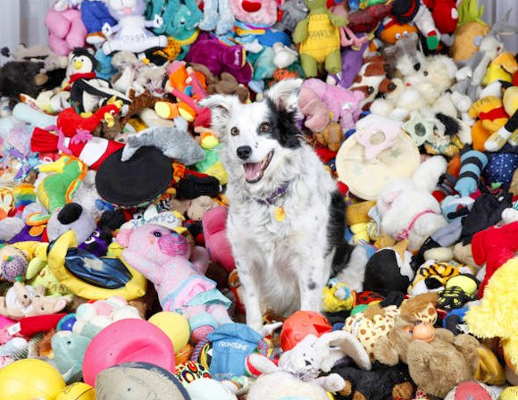 Chase the Border Collie and Toys
