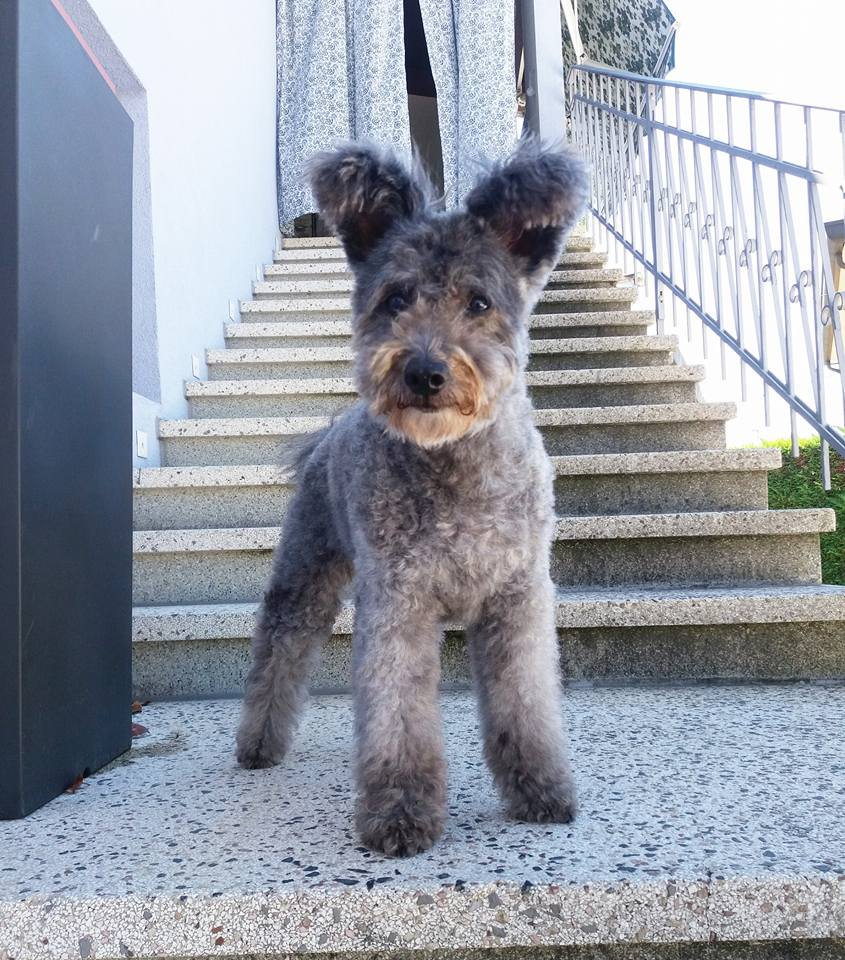 Pumi Dog Standing Upright