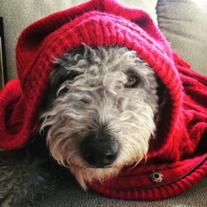 Pumi dogs have personality and intelligence