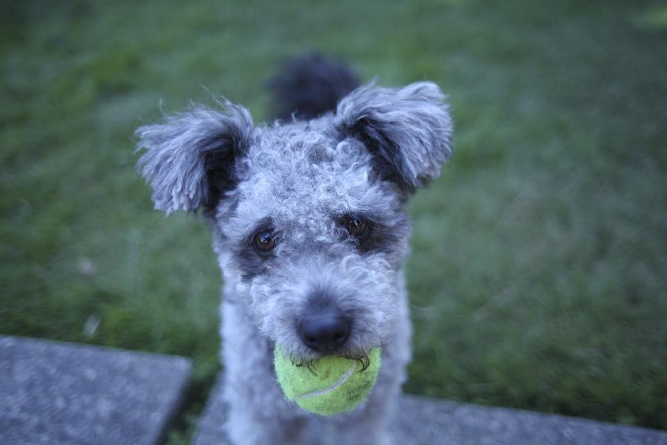 Pumi Dog with a Tennis Ball