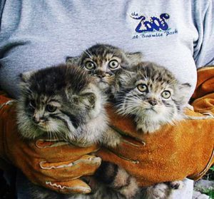 Kittens in Captivity