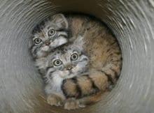 Feral Pallas Cats
