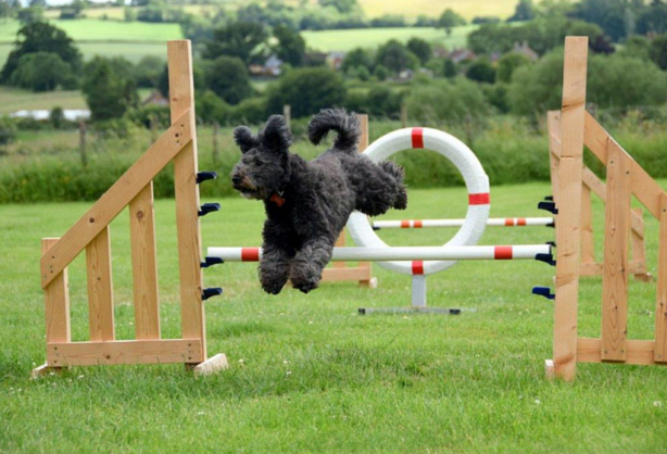 Pumi Dog in competition