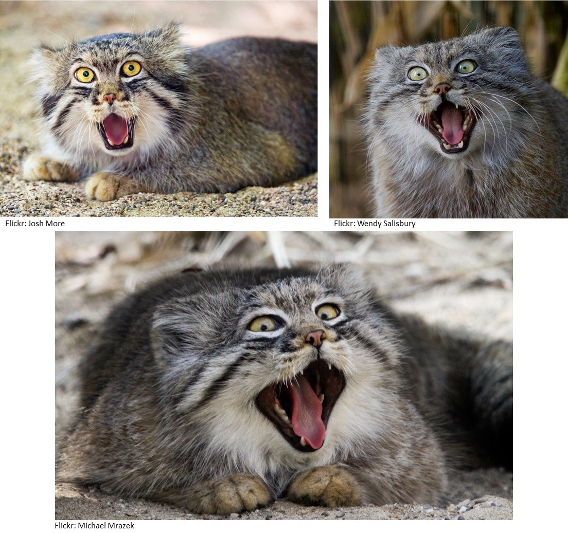 Pallas Cats Making Funny Surprised Faces