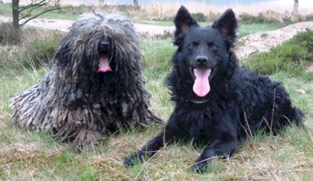 A Puli and Mudi together