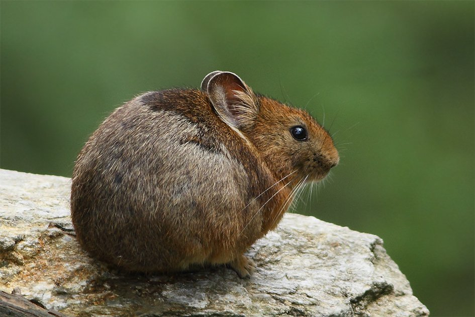 Pika Mouse