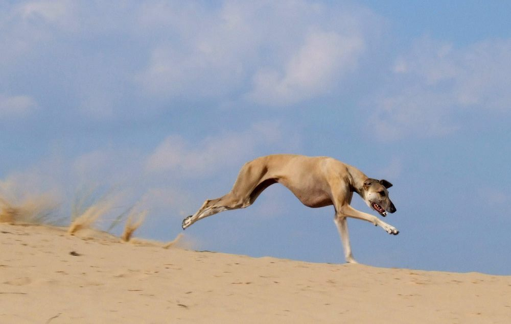 Sloughi running in the desert sand