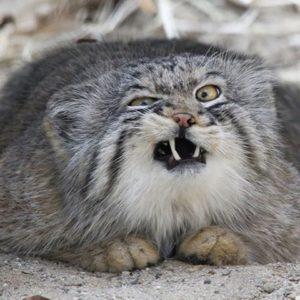 Pallas Cat showing its teeth