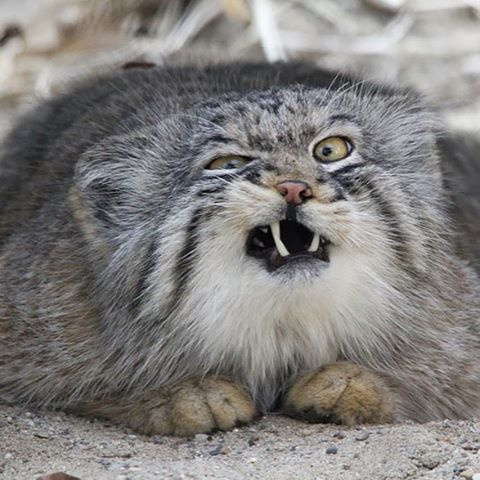 Pallas Cat Showing Teeth