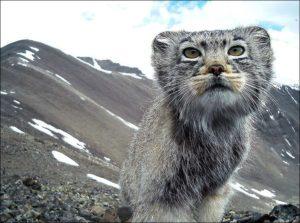 Pallas Cat caught in photo trap
