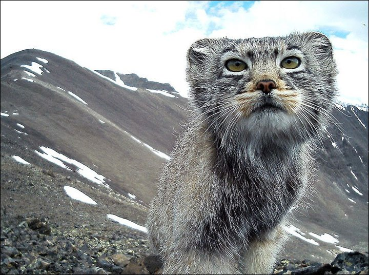 Pallas Cat in Altai