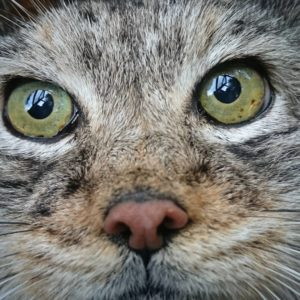 They have owl-like eyes, different from usual cat eyes