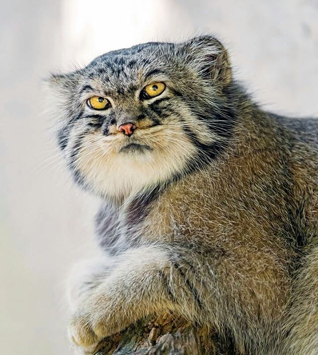 The ultimate guide to the pallas cat bone yarn pallas cat resting on a stoop publicscrutiny Images