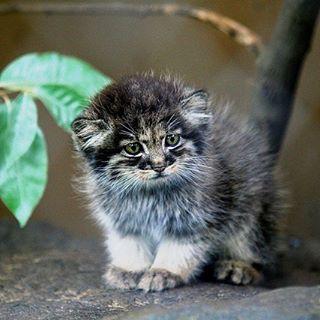 Baby Pallas Cat