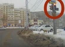 Dog Waiting for Traffic Light