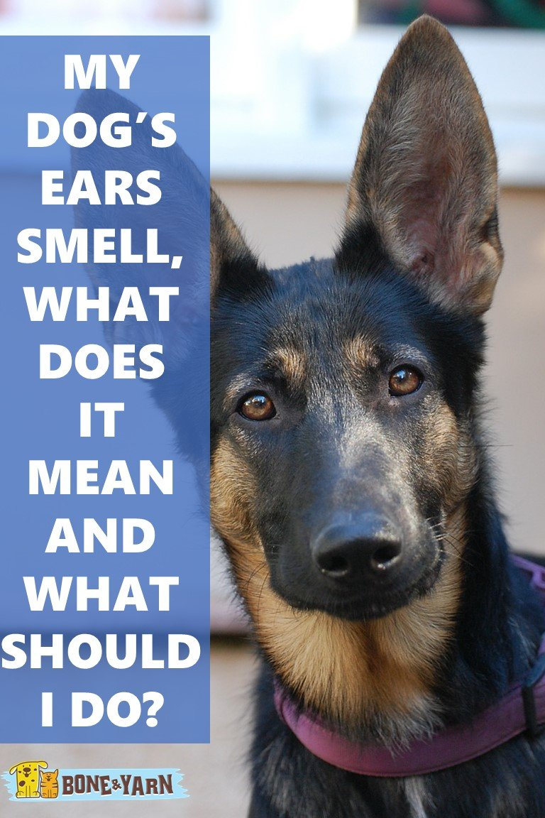 My dog's ears smell, what does it mean and what should I do?