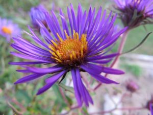Asters attract bees, birds, and butterflies to gardens