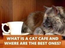 What is a cat cafe and where are the best ones?
