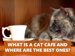 Cat cafe may not sound familiar to you, but we'll fix that