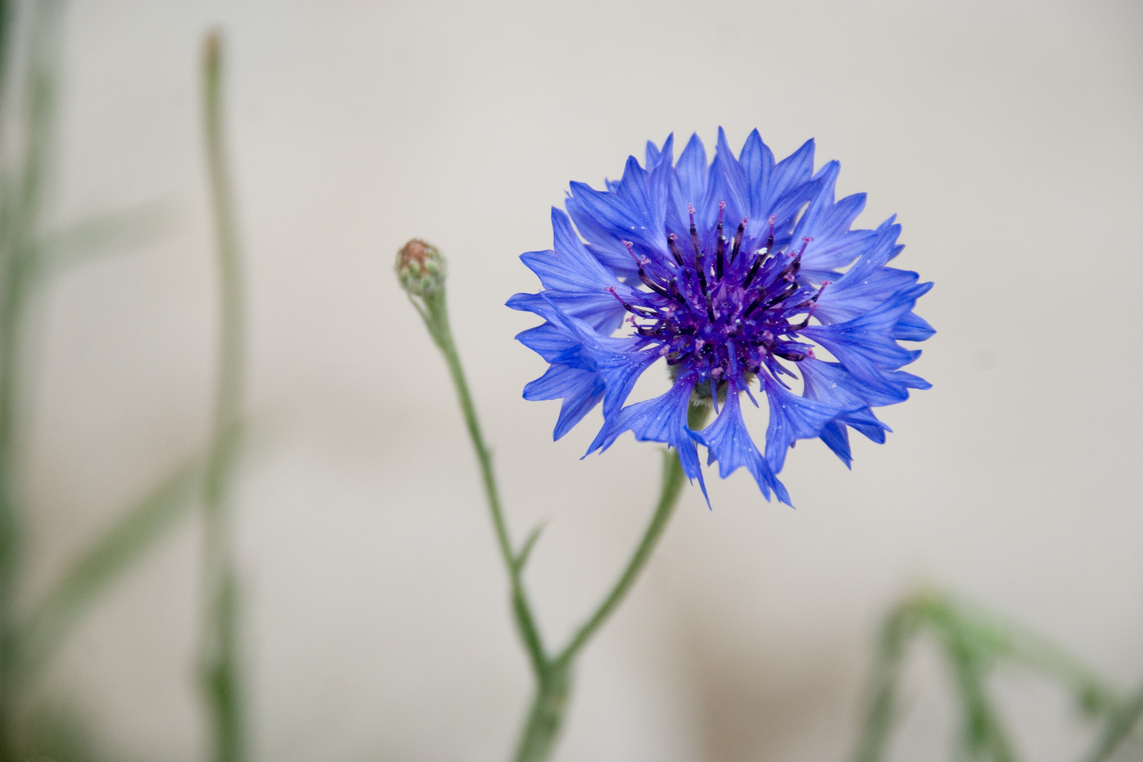 Cat Friendly Flowers - Cornflower