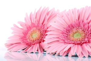 Gerber daisies come from the sunflower family