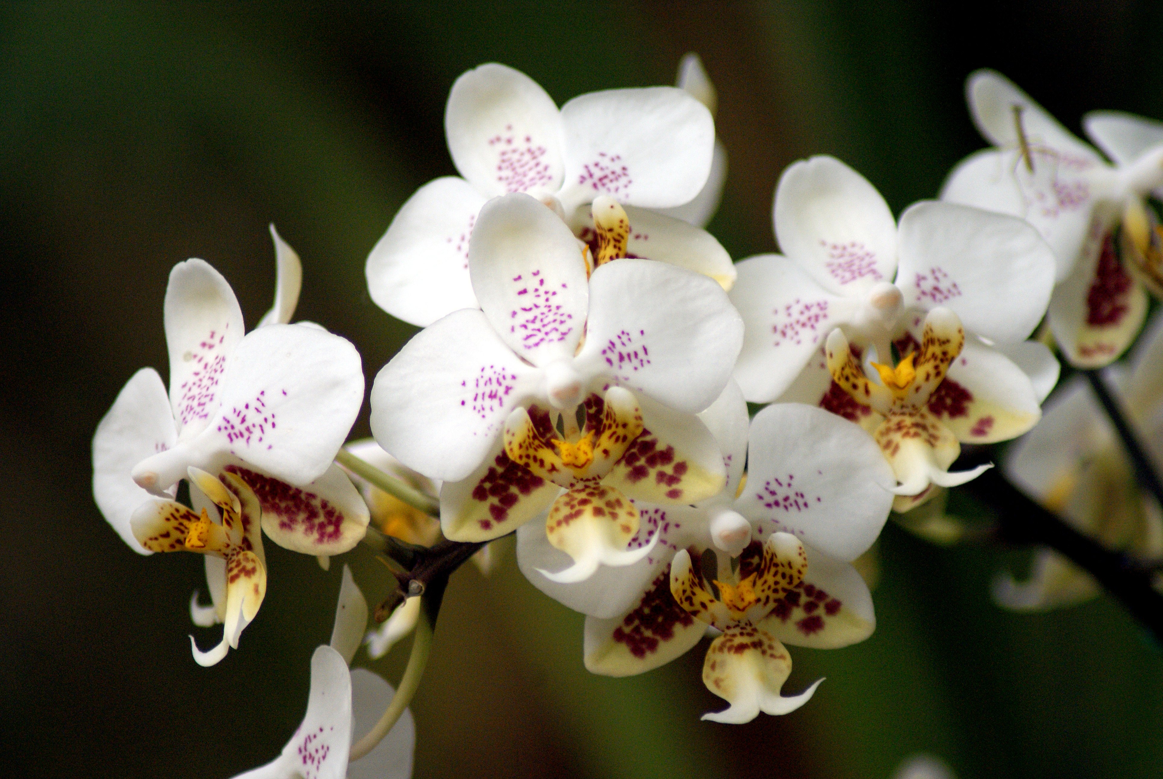 Cat Friendly Flowers - Phalaenopsis
