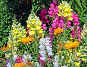 Snapdragons form colorful towers of flowers in spring and fall
