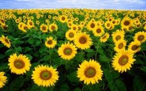 Sunflowers brighten everyone's day