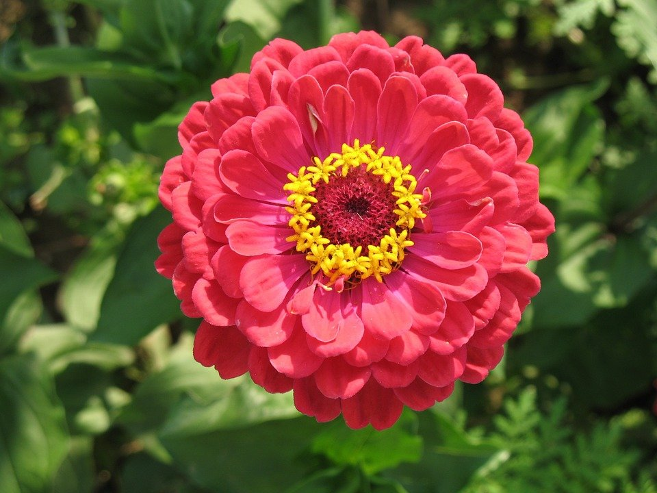 Cat Friendly Flowers - Zinnia