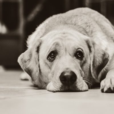 Older dogs have certain conditions that can causes lethargy