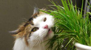 Cat grass is a cat-friendly plant