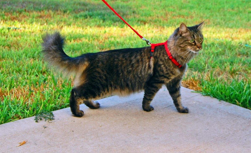 Walking a cat on a leash is one of the most practical cat tricks