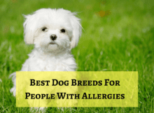 Best Dog Breeds For People With Allergies