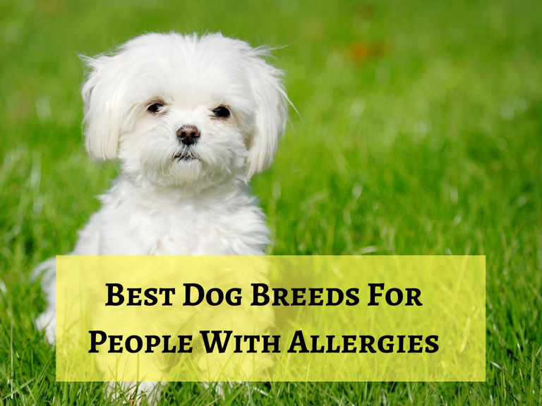Best dog breeds for people with allergies for Best dogs for you