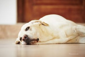 Lethargic Labrador Retriever - common symptom of NSAID toxicity