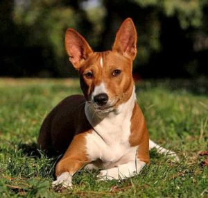 With cat-like grooming habits, Basenji are one of the best dog breeds for people with allergies