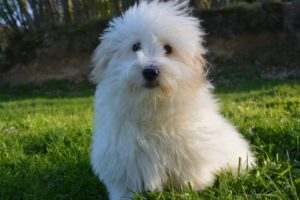 Coton de Tulear are one of the best dog breeds for people with allergies despite their fluffy appearance