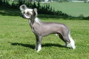 Chinese Crested are one of the hairless breeds that produce little dander