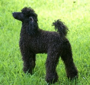 All three sizes of poodles work well with allergy-sufferers