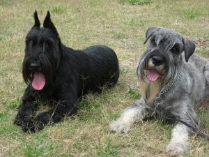 All three sizes of Schnauzers have a single coat