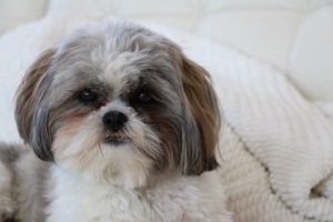 With hair instead of fur, Shih Tzus are one of the best dog breeds for people with allergies