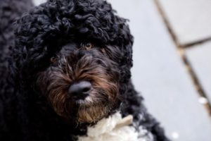 Portuguese Water Dogs have a single-layer coat